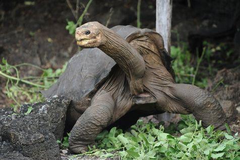 Tortues géantes des îles Galapagos, une espèce désormais éteinte Photo_10
