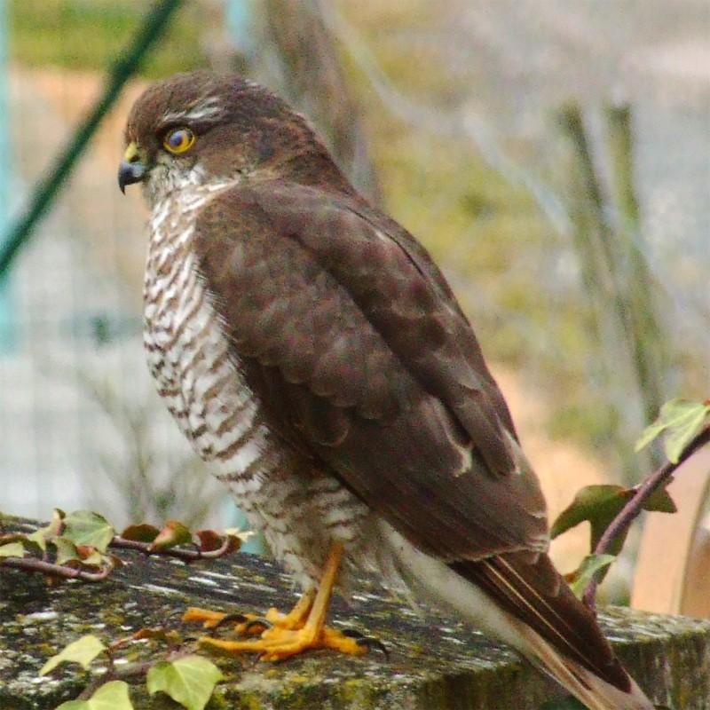 Petit Rapace Oiseau10