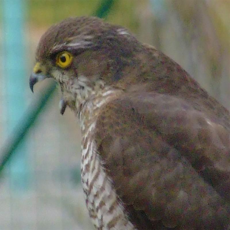 Petit Rapace Oiseau11