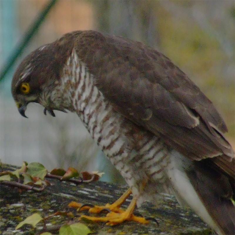 Petit Rapace Oiseau12