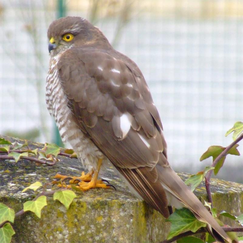 Petit Rapace Oiseau13