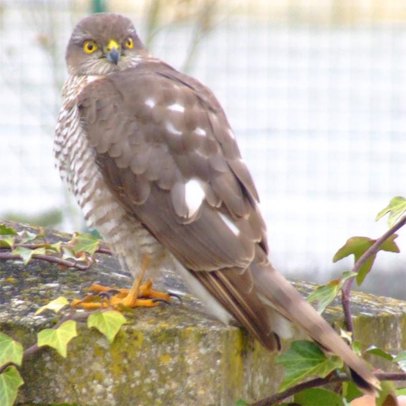 Petit Rapace Oiseau14