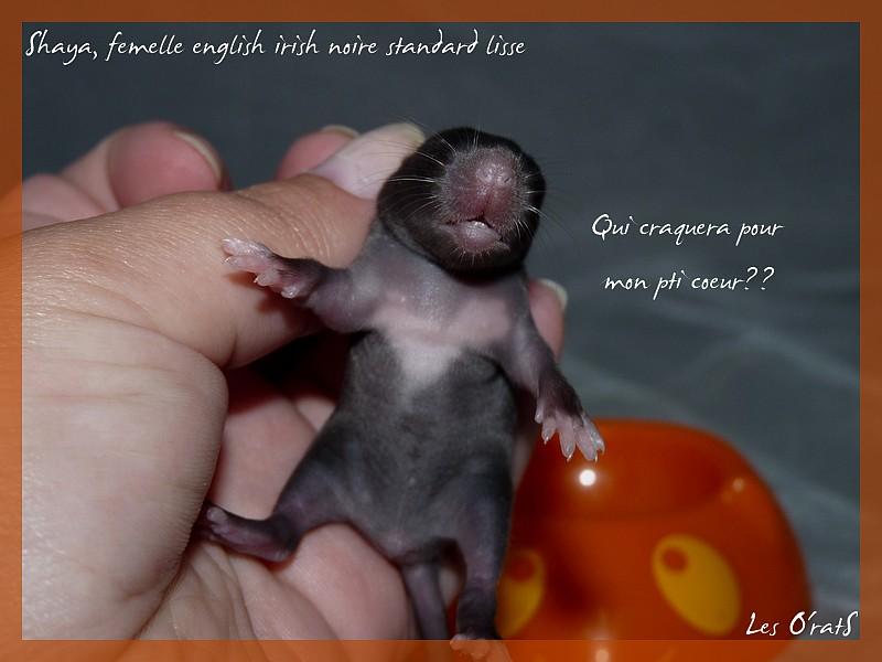[GÉNÉTIQUE]  Marquages et dilutions du rat domestique P1090511