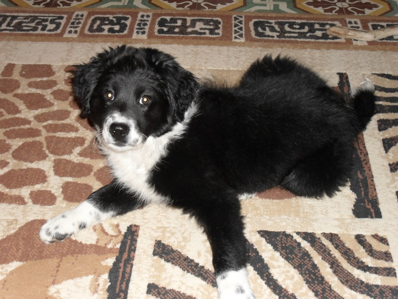 6 Chiots croise Border Collie en FA - Page 2 53410