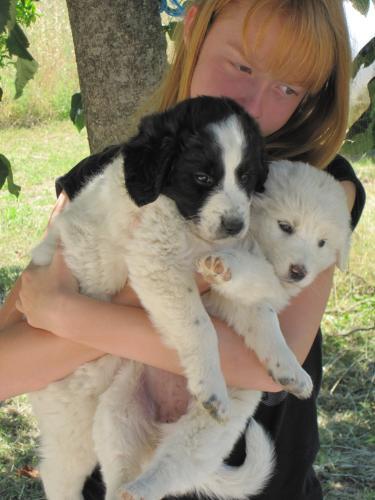 2 chiots femelles 2/3 mois type chien de berger patou, handseer.... 83cf4511