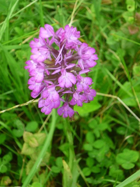 Orchidée sauvage  Orchid10