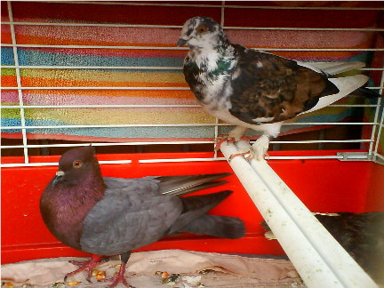 Rescued dove with swollen red eyes! Dsc02810