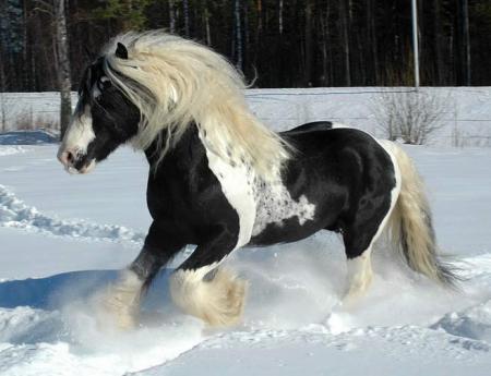 Le shire, le plus grand cheval du monde Antart10