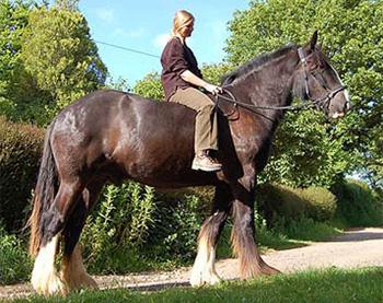 Le shire, le plus grand cheval du monde Shire110