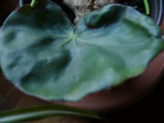 ????? [Begonia 'Erythrophylla'] P1030820