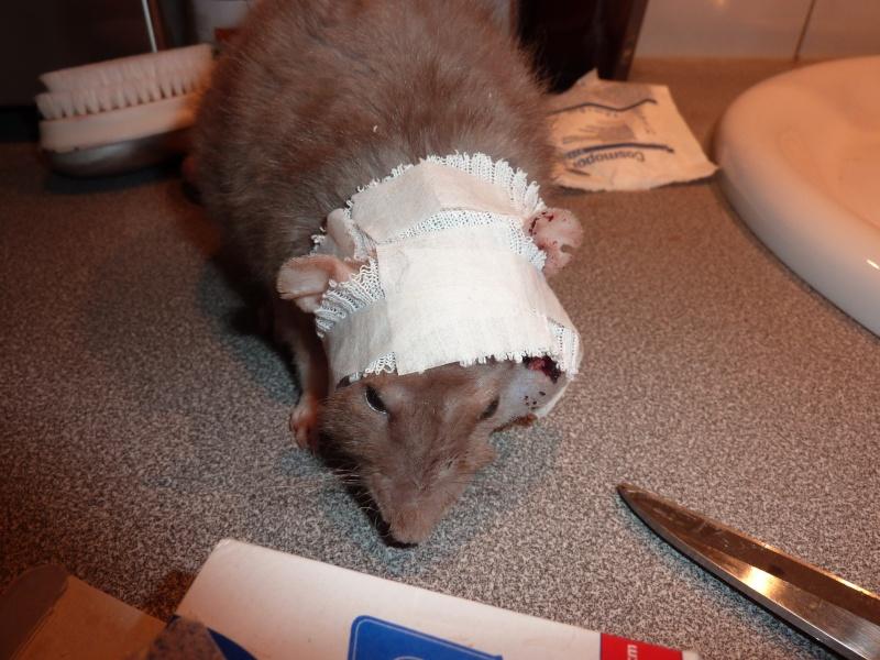 Le rat saucisson - Protéger une plaie après opération - Page 6 P1080111
