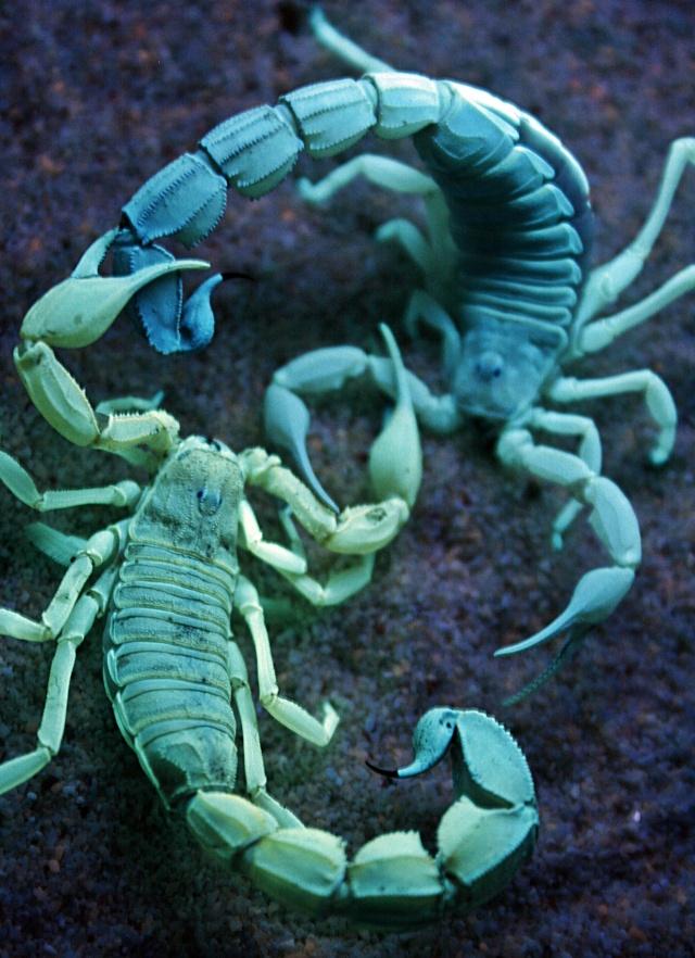 Androctonus australis mating under UV light (2nd post) _mg_5013