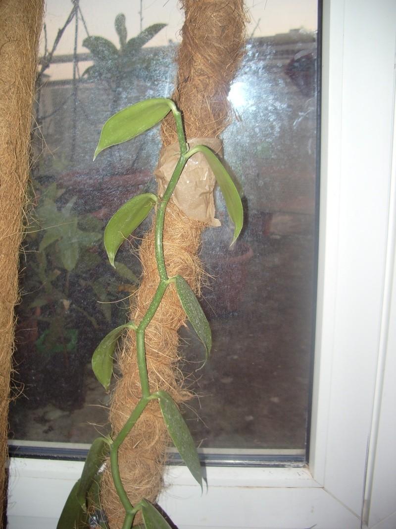 vanilla planifolia Imgp4726