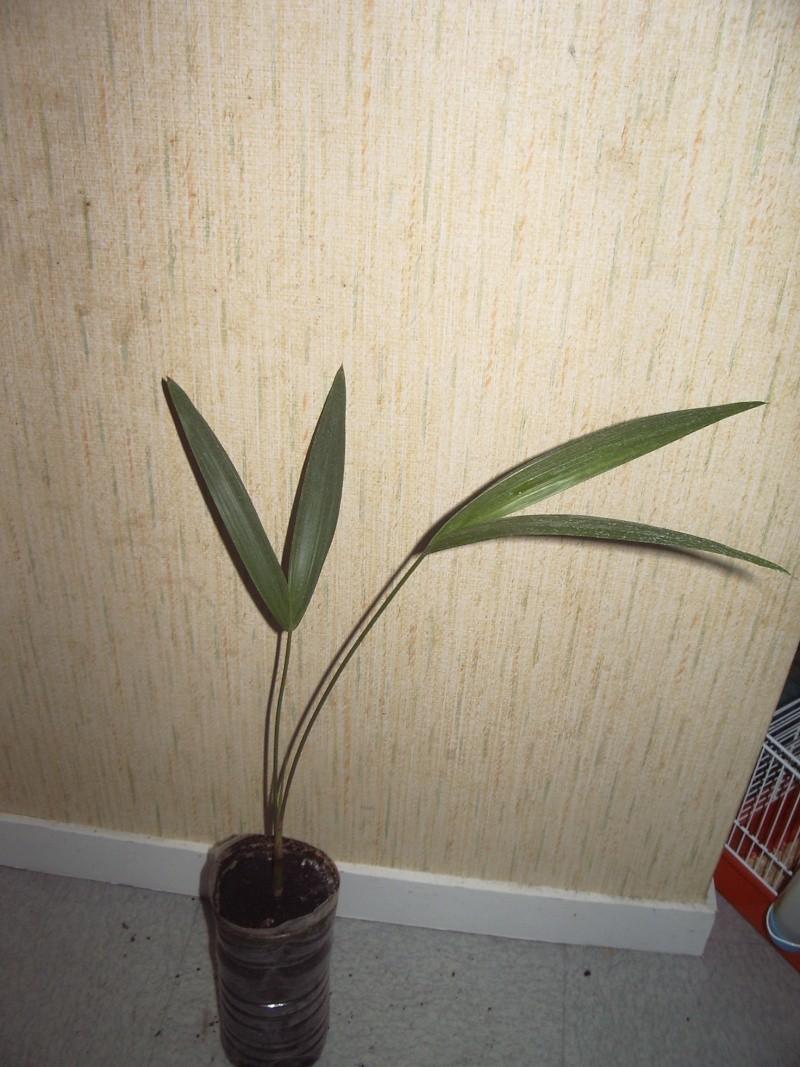 euterpe oleracea Imgp5011