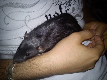 Mes rats ^^  30049310