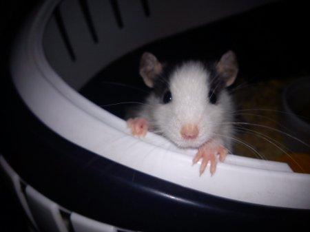Mes rats ^^  30214210