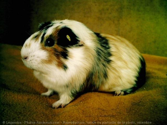 Phénotypes/visuels Cavia Porcellus ( Cochon d'Inde ) 53948810