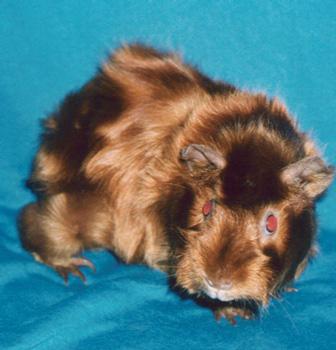 Phénotypes/visuels Cavia Porcellus ( Cochon d'Inde ) Cobaye10