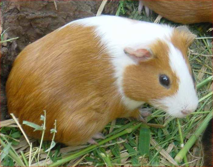 Phénotypes/visuels Cavia Porcellus ( Cochon d'Inde ) Cochon13