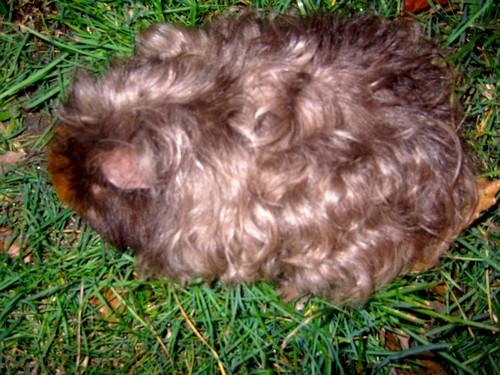 Phénotypes/visuels Cavia Porcellus ( Cochon d'Inde ) Cochon15