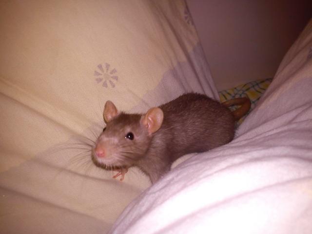 Mes rats ^^  Dsc00412