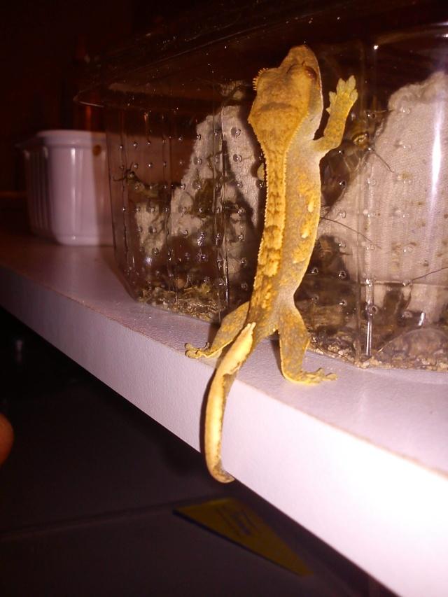 """Rhacodactylus ciliatus '' gecko à crete """" [ Reptiléa ] Dsc01135"""
