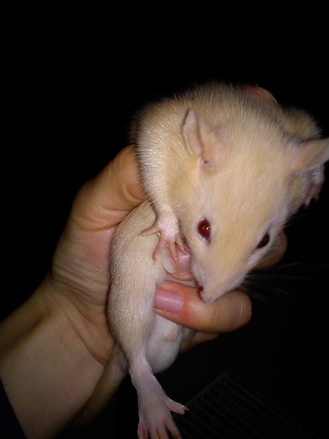 Mes rats ^^  Dsc01143