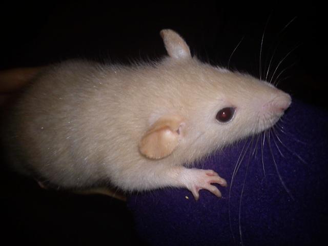 Mes rats ^^  Dsc01224