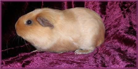 Phénotypes/visuels Cavia Porcellus ( Cochon d'Inde ) Mirabe10