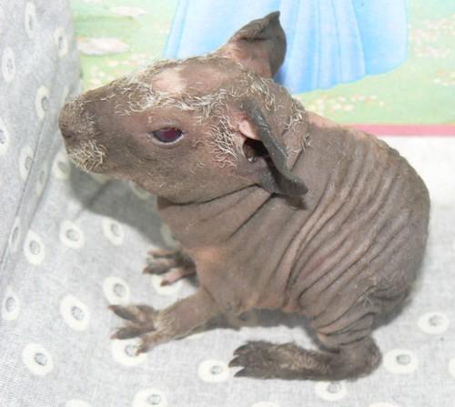 Phénotypes/visuels Cavia Porcellus ( Cochon d'Inde ) Skinny10