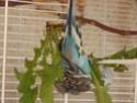 Petite perruche pas très intéressée ... Dscf9911