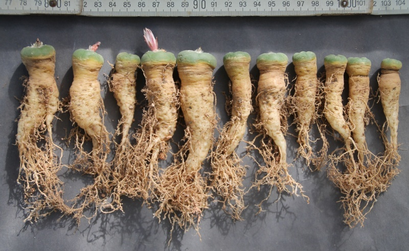 Lophophora koehresii Bild_274