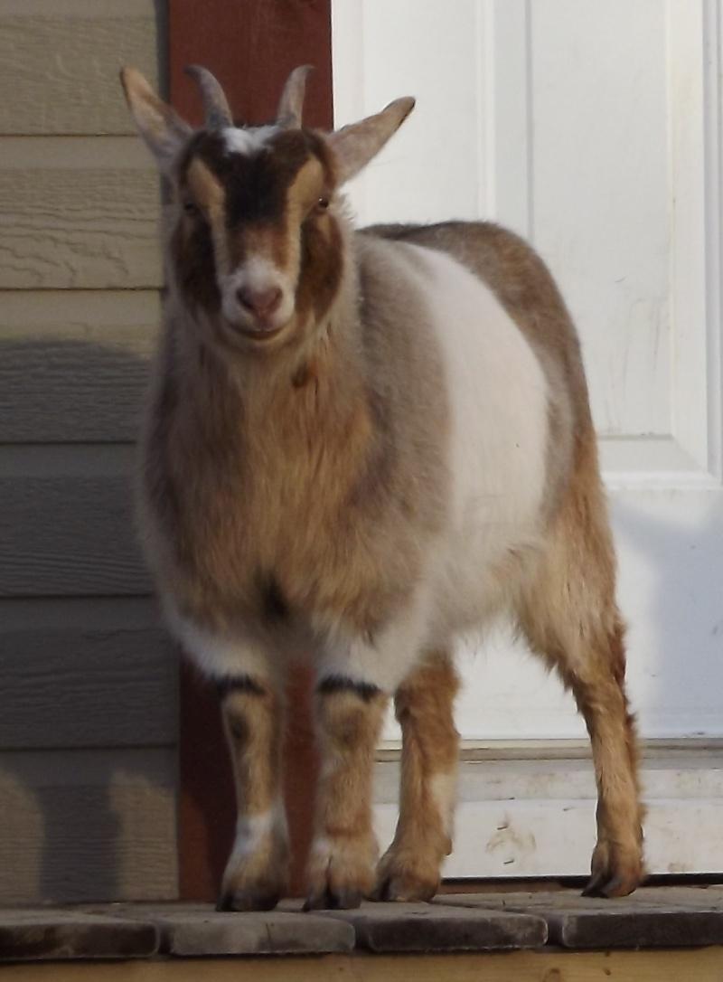 deux chèvres miniatures à vendre Photos10