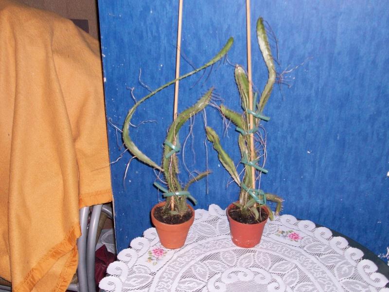 plante du dragon 100_1112
