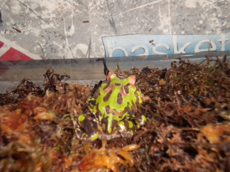 ma ceratophrys cranwelli Dscn1516