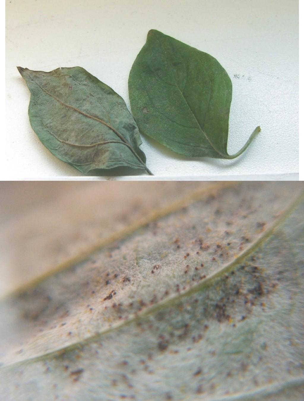 leaves problem acer, cornus ... Cornus11