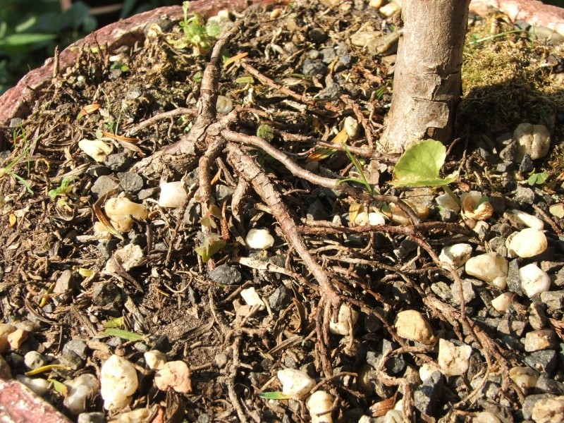 taxus yellow leaves Dscf8211
