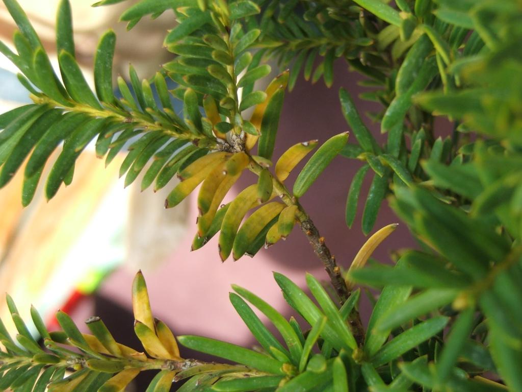 taxus yellow leaves Dscf8411