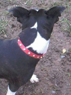 Ruby - Staffie, Bitch (2 Years) Photo-14