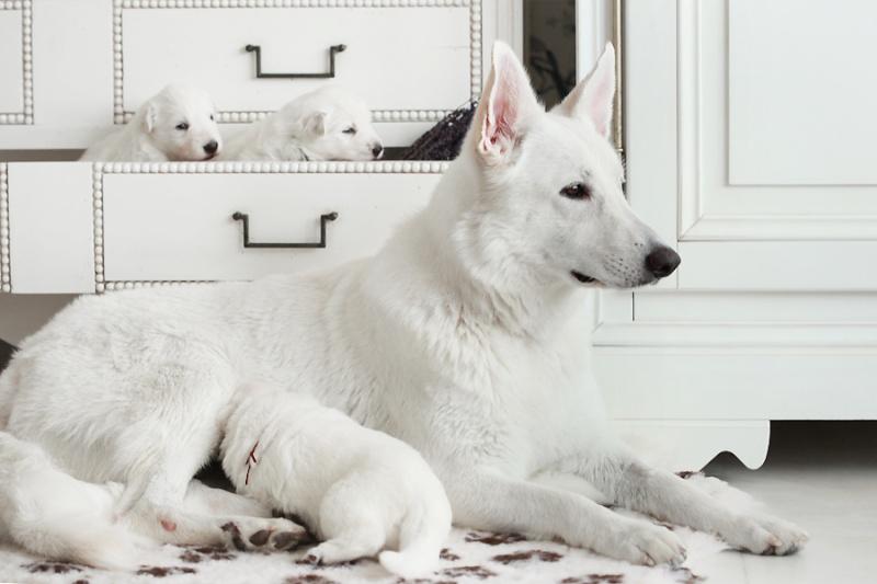 Белая Швейцарская овчарка Img_6610