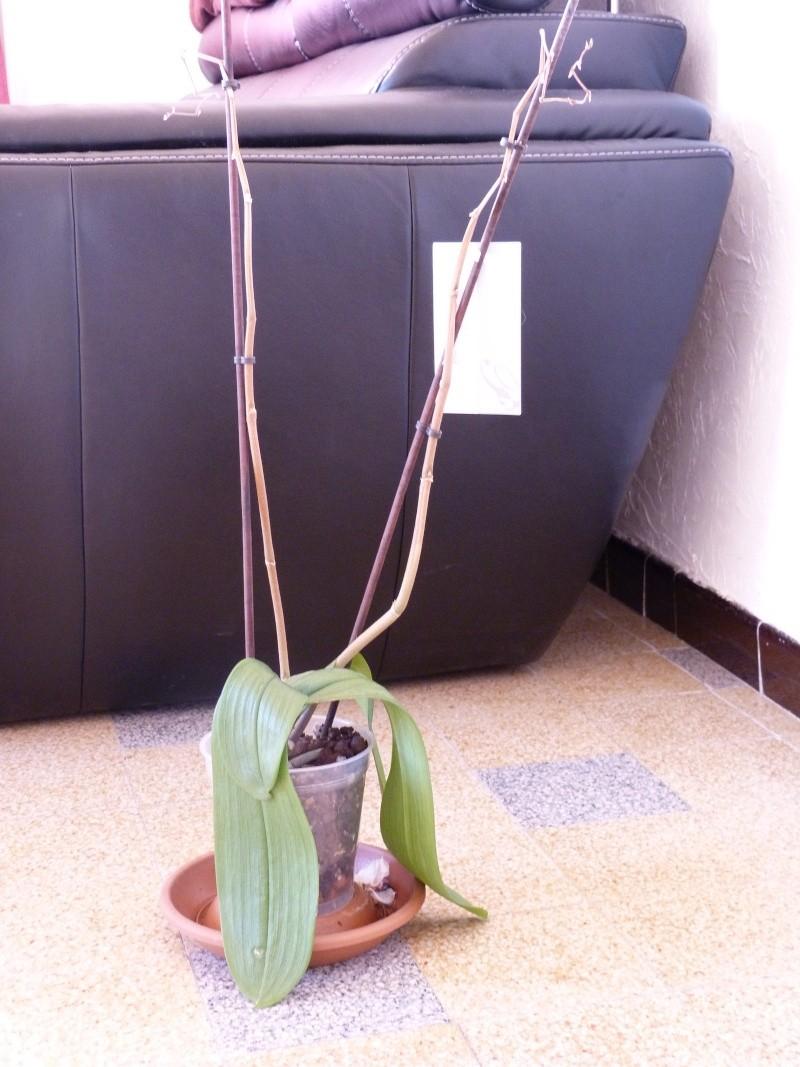 Mon nouveau phalaenopsis - Page 2 P1030413