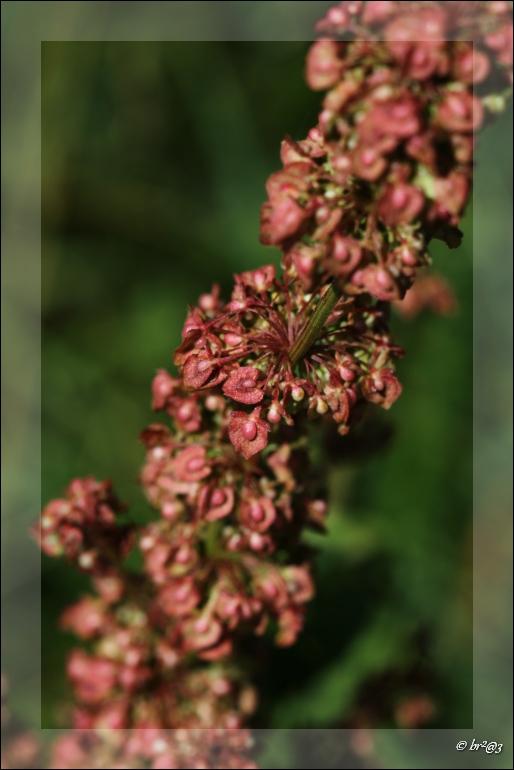 Petite fleur des champs... Img_4616