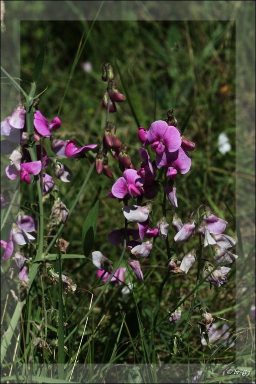Petite fleur des champs... Img_4619