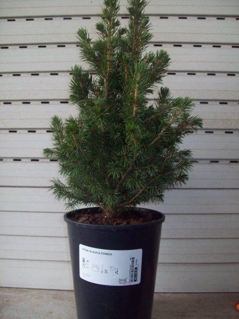 Picea glauca conica.. 105_3610