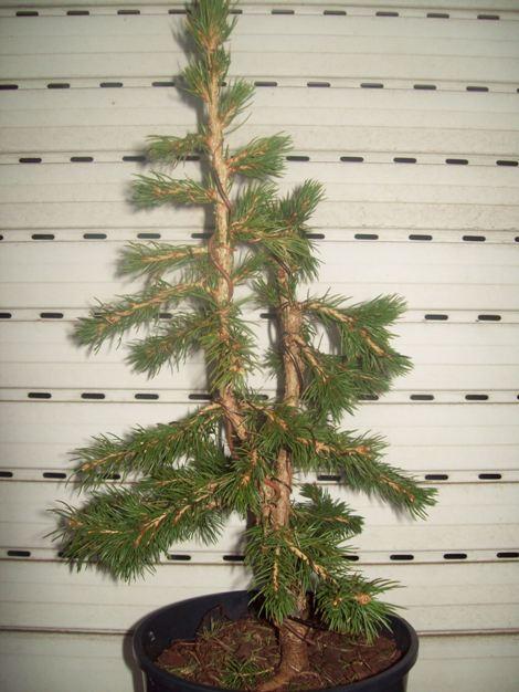 Picea glauca conica.. 105_3710