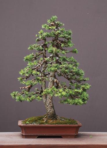 Picea glauca conica.. Critiq10