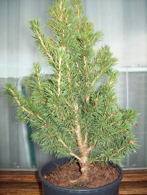 Picea glauca conica.. Picea10