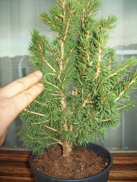 Picea glauca conica.. Picea_10