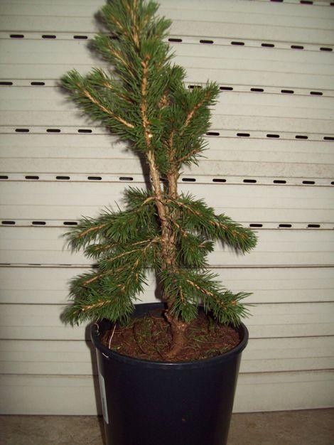 Picea glauca conica.. Q10