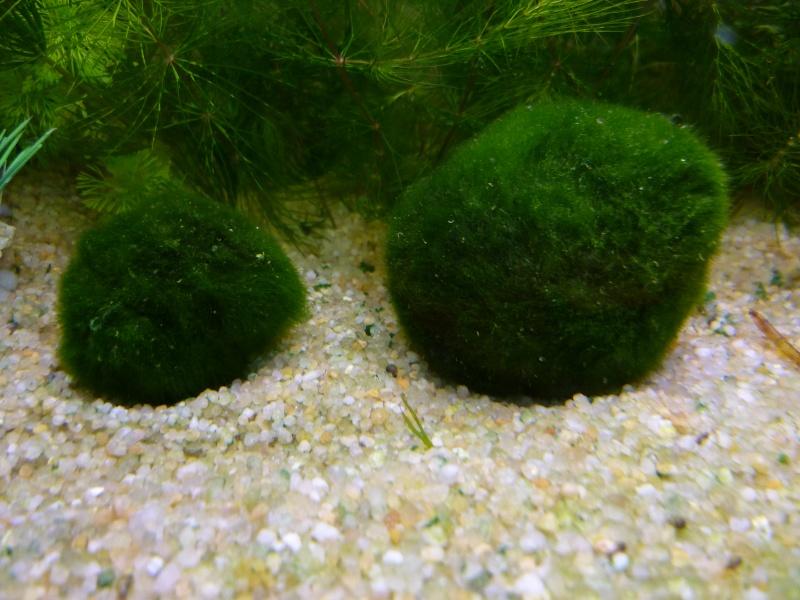 Expansion de Cladophora chez Padawanfish ?  P1010919